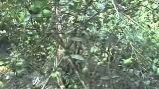 Lemon Plantation in Nepal .wmv
