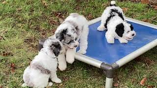 Judy's Schnoodle puppies August 27, 2020  THIS LITTER IS SOLD