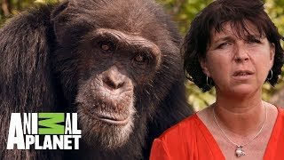 Protegiendo chimpancés en Costa de Marfil | The Dodo: En busca de héroes | Animal Planet