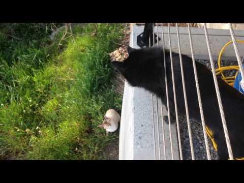 Schipperke dog meets a cat