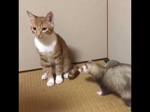Cat Does Hilarious Flips While Trying to Play With Hedgehog - 1030764
