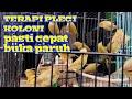 Terapi Pleci Koloni Pasti Cepat Merangsang Pleci Buka Paruh Pleci Gacor  Mp3 - Mp4 Download