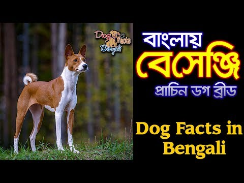 Basenji dog facts in Bengali | Ancient African Dog | Dog Facts Bengali