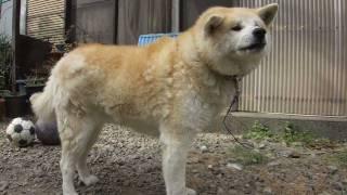 年に1度、帰省のときしか会わない実家の秋田犬・チェリー(雌・4歳半)...