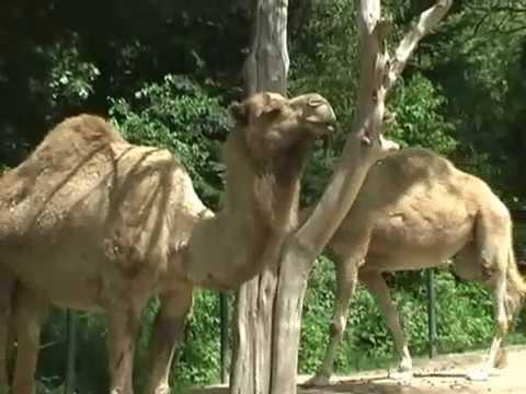 The Dromedary Camel (Camelus Dromedarius One Hump