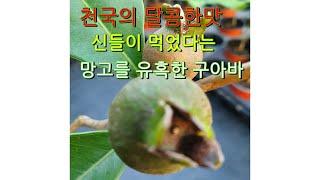 구아바잎차 먹는방법은?