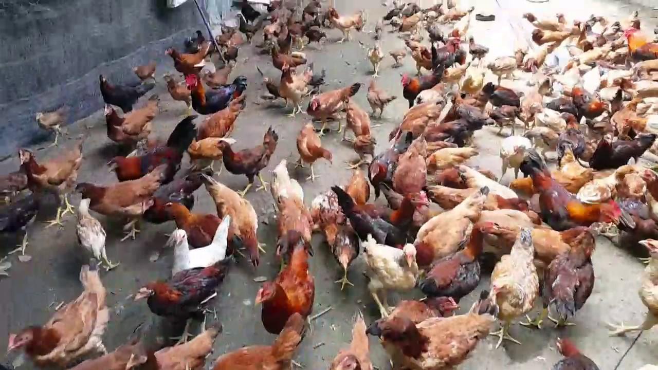 Penternakan Ayam Kampung - YouTube