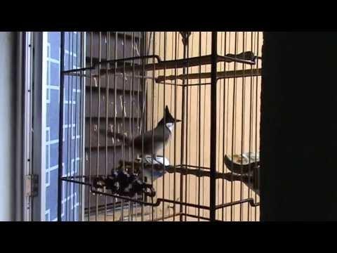chào mào Huế 4 mùa, chim núi Hoàng Bằng, Phong Điền.