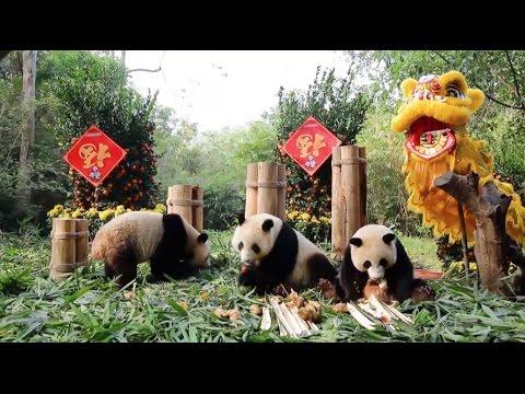 Pandas Welcome Spring Festival across Globe