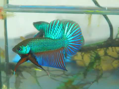 On sell now. Original Wild Betta Smaragdina. If you're interested, please pm