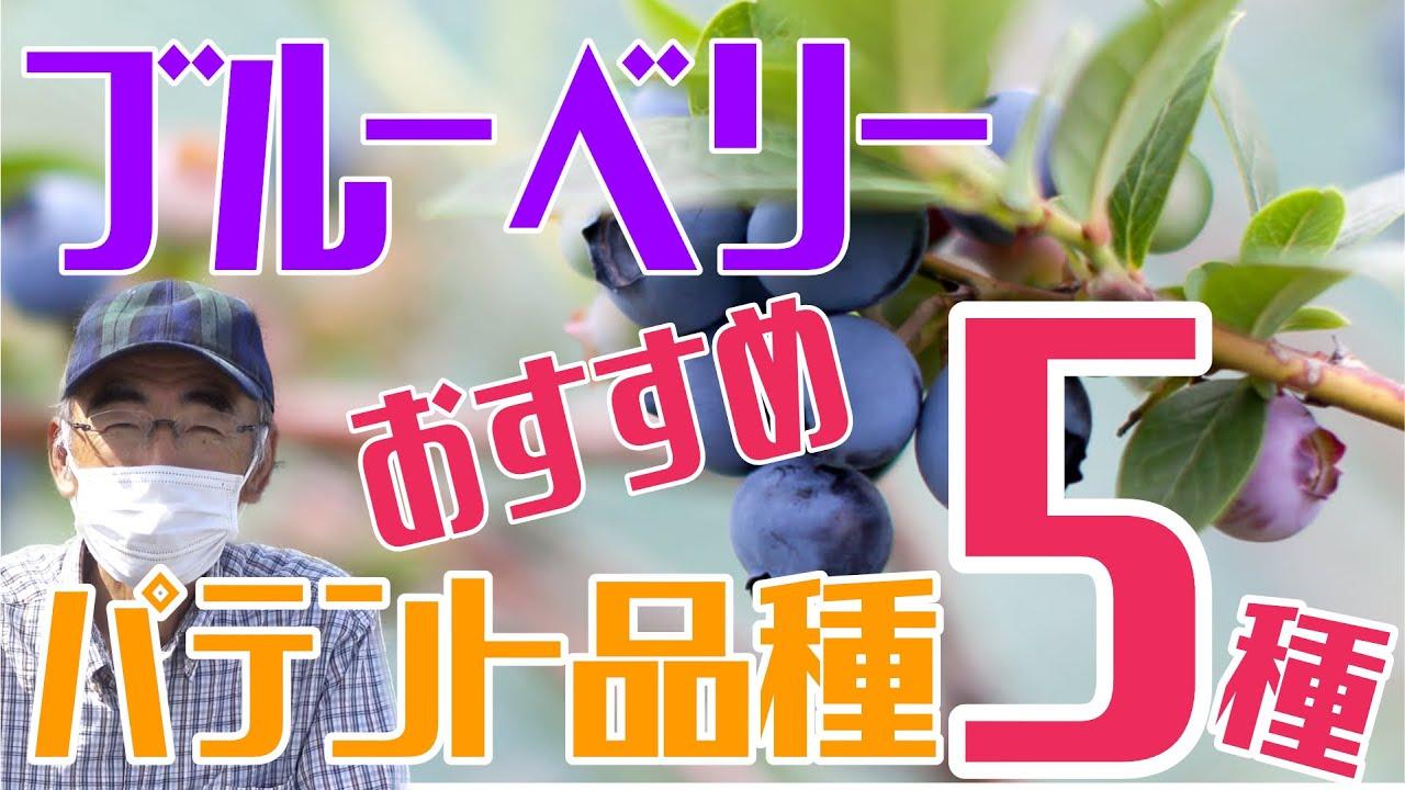 ブルーベリー・パテント品種のおすすめ5種! 20種類以上栽培した中でのおすすめ品種!