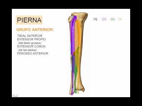 Músculos de miembro inferior 7 - YouTube