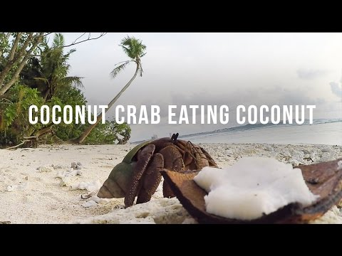 COCONUT CRAB EATING COCONUT