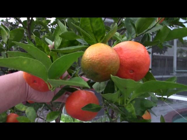Cây ăn trái trồng tại nhà ở Mỹ: QUÝT, TẮT, BƯỞI, HỒNG, trái thấy mê nè