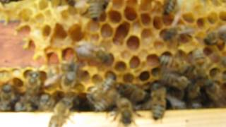 Домашняя Кавказская пчела