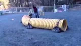 一生懸命走る犬。それを邪魔するハンドラー。それにキレる犬。すまん、源。