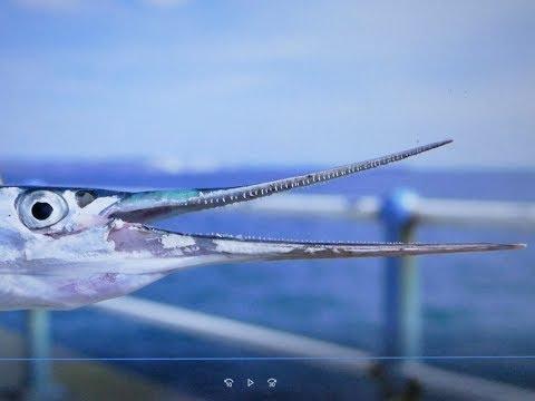 GAR FISHING AT WEYMOUTH STONE PIER