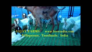 Goat Farming with Plastic slatted floor