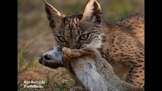 Świat zwierząt Rysie - Luchse