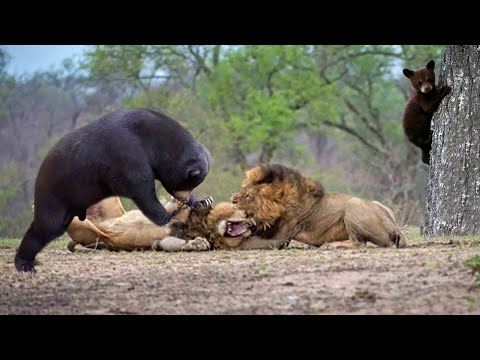 7 Lion Vs 100 Buffalo - Lion Of The Andes Fail - Male Lion Rescue Baby Impala From Five Cheetah