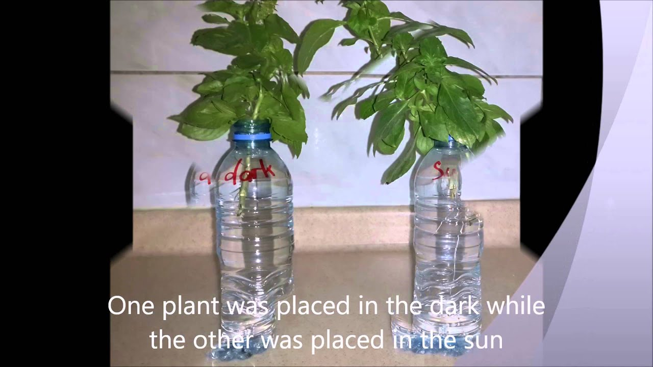 colour of light effects plant growth Plant hormones that respond to light govern the growth of plants from germination through the growing season some plants require full sun others grow in the shade.