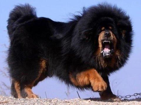 Чихуахуа О породе собак описание породы чихуахуа цены
