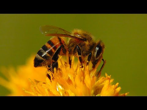 Bee Population Collapse Might Be Due to Common Pesticide