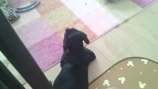 愛犬ザック ラブラドールレトリバー 生後3ヶ月 犬の鳴き声アプリでの反応.