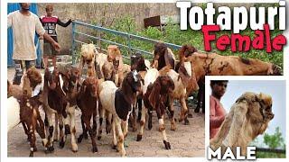 Totapuri Breeding Set for Sale…