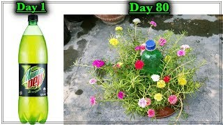Unique Method To Grow Moss Rose In Cold Drink Bottle ll मानसून में लगाए मोस रोज की कलम नए तरीके से