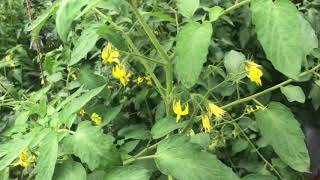 TOMATO Success story टमाटर रोग नियंत्रन single stop solution for multiple Diseases by Immuno Enviro