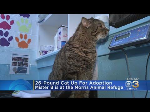 Kevin & Liz - Giant 26lb cat up for adoption