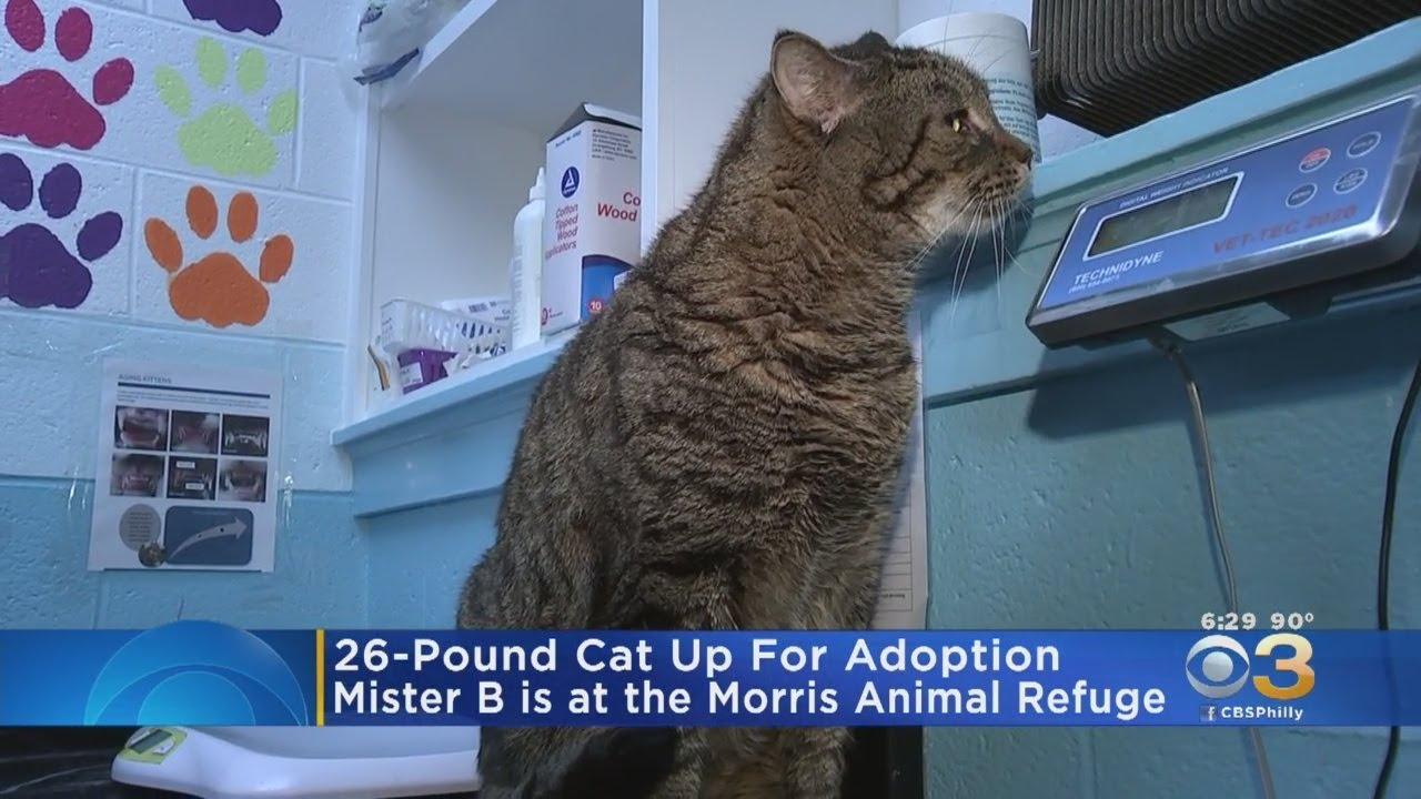 Giant 26,Pound Cat Up For Adoption In Philadelphia