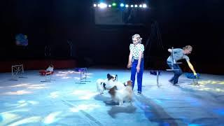 Саша собаки-бабочки