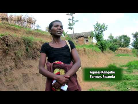 Climate-smart Brachiaria grass in Rwanda: BecA-ILRI Hub project to increase livestock production