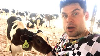 Delicious Dairy Sounds by Flula (Danke, Cows!)