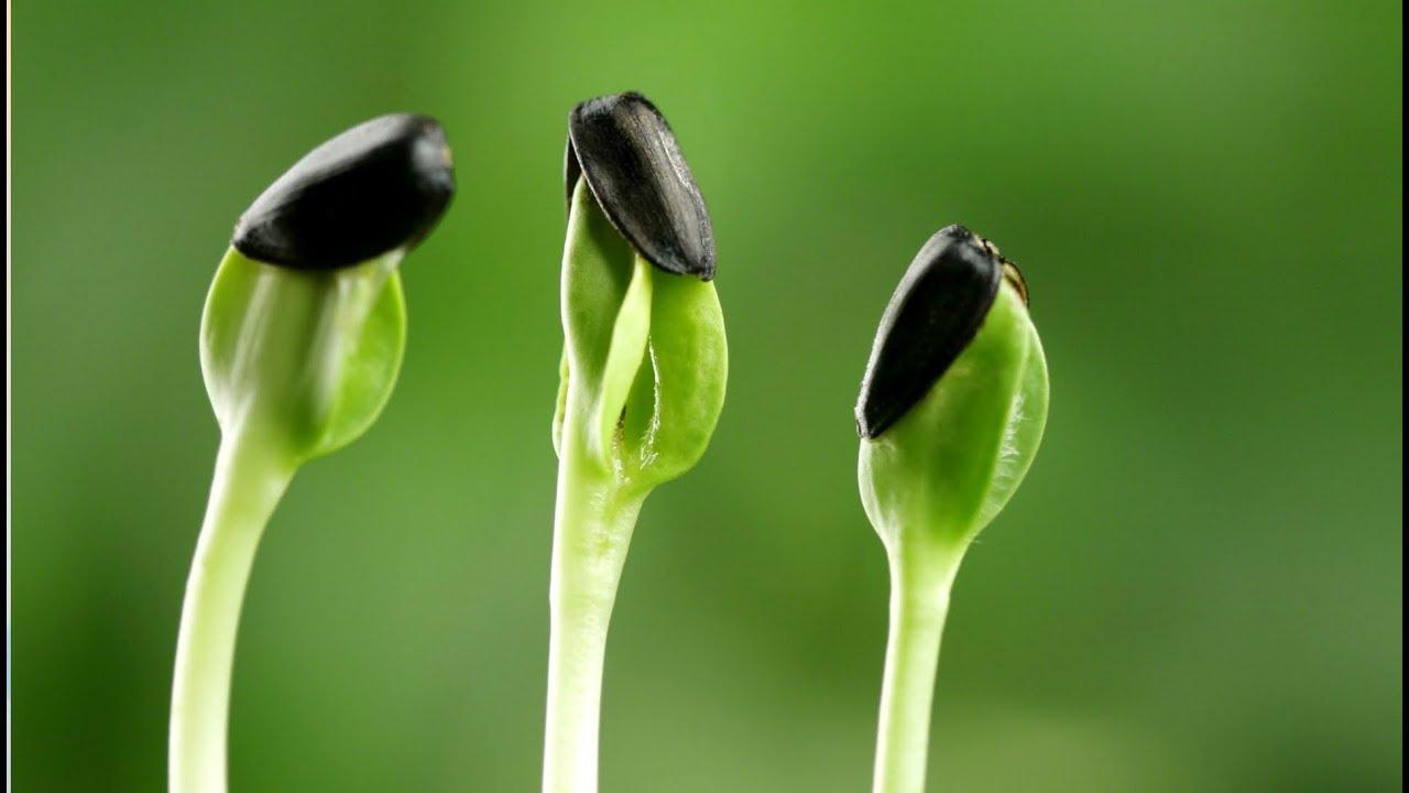 как правильно прорастить семена подсолнечника