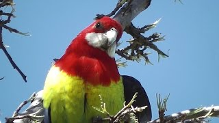 Dialogue with a Rosella (•▽•)ლ(•‿•✿)