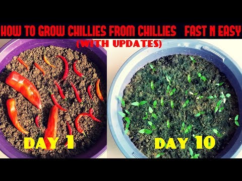 How to Grow Chillies from Chillies at Home (Fast N Easy )