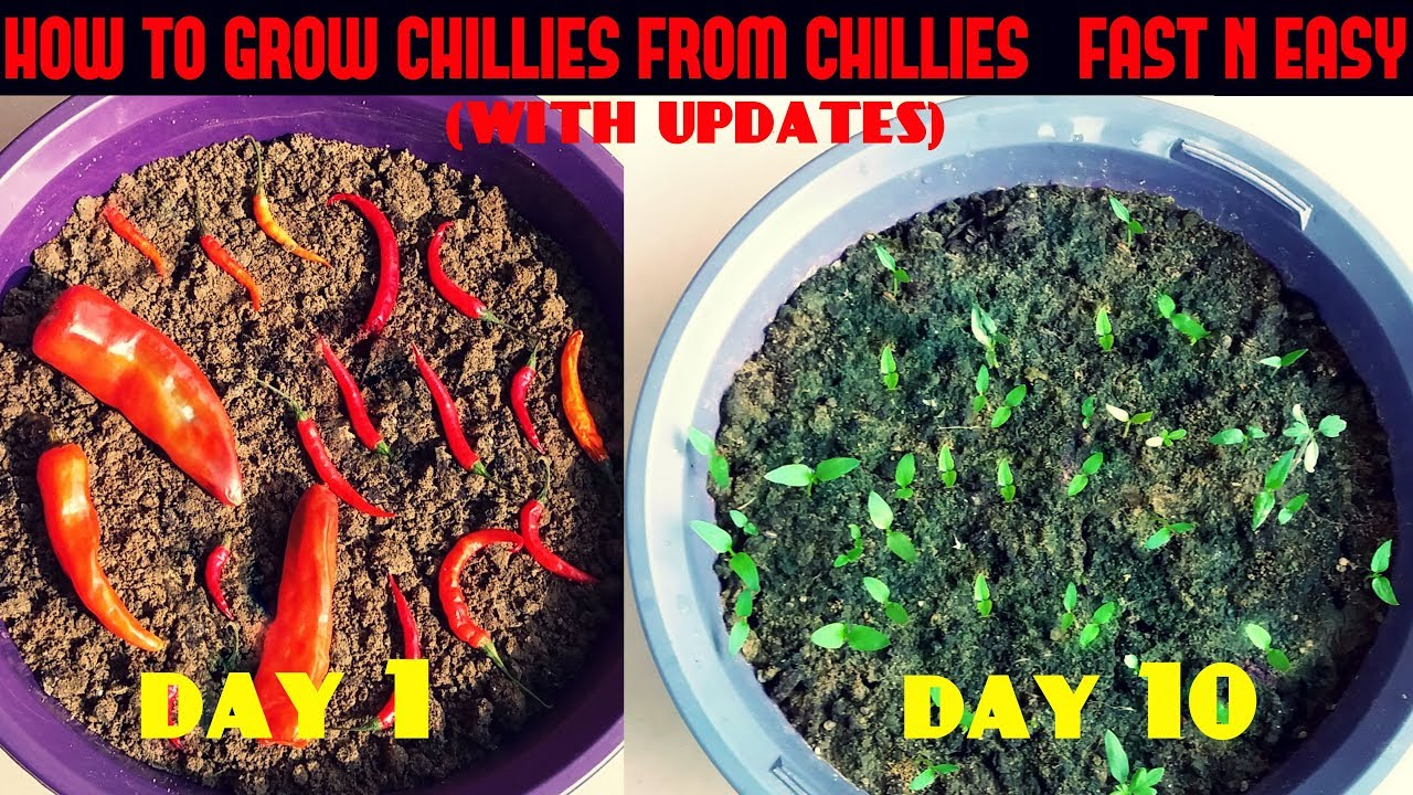 How to grow chili at home