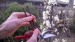 easy way to graft multiple varieties on your fruit trees