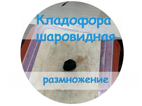 Кладофора шаровидная размножение