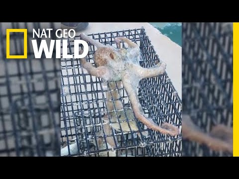 Download Youtube: Sneaky Octopus Tries to Steal Dinner From a Fisherman | Nat Geo Wild