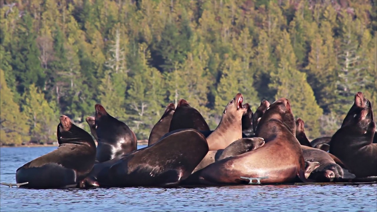 Download Sea Lions Fight for Dominance   Wildlife Lounge   Episode 4