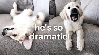 Dramatic Dog Guaranteed to Make You Laugh | Funny Dog Compilation 2020