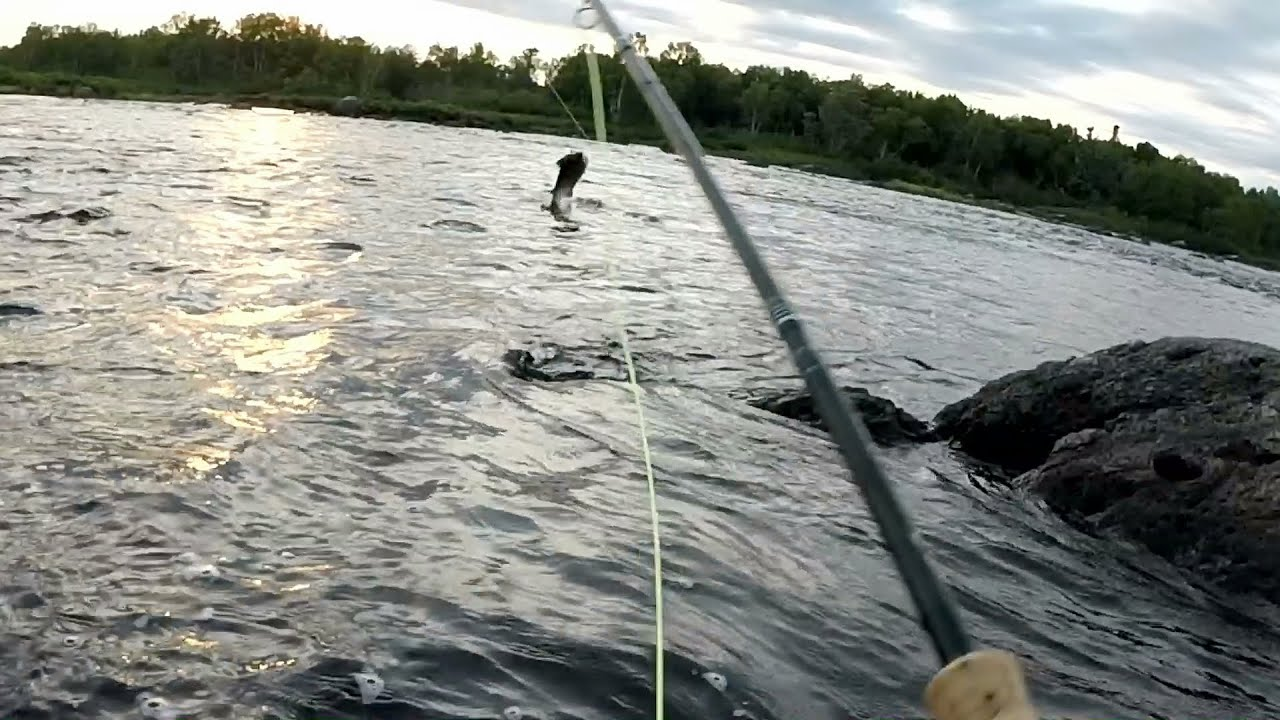 large atlantic salmon jumping on gander river youtube