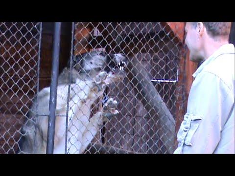 Turkmen Alabai female guarding TEST 13 - Central Asian Shepherd Dog