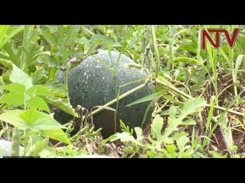 On The Farm: Why one farmer prefers the black melon variety