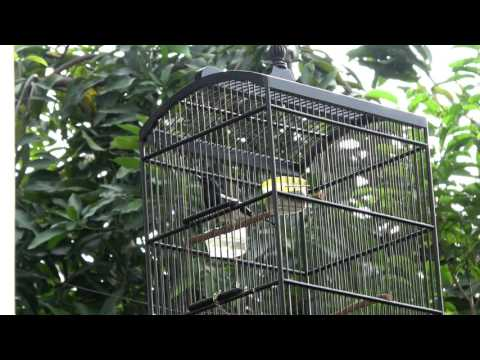 Burung kacer Suara Merdu