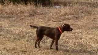 Pudelpointer Maximilian Hunting Chuckars And Pheasants